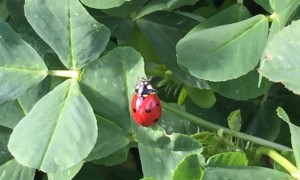 Field.Lady Bug