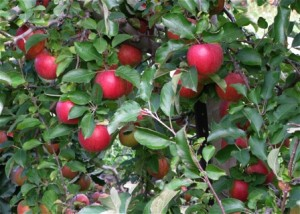 field.red apples on tree